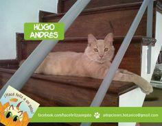 Él es Hugo Andrés un gato feliz y con doble nombre para que no lo confundan ya que es único! Lisa no dudó en adoptarlo cuando lo vio... fue amor a primer ronroneo.... Gracias Lisa por adoptarlo!