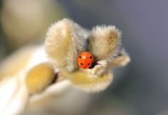 A ladybird nestled down in some gorgeously fluffy magnolia buds! Happy Beautiful Bug Butt Thursday everyone! https://www.picturedashboard.com