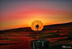 """Taraxacum - Dandelion Flower Sunset - <p><a href=""""https://www.facebook.com/ismailbilir.400""""><img src=""""http://www.ismailbilir.com/ismail_bilir/facebook.png""""></a> <a href=""""https://www.instagram.com/ismail_bilir40/""""><img src=""""http://www.ismailbilir.com/ismail_bilir/instagram.png""""></a> <a href=""""https://twitter.com/ismailbilir40""""><img src=""""http://www.ismailbilir.com/ismail_bilir/twitter.png""""></a> <a href=""""http://www.ismailbilir.com""""><img…"""