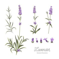 Set of lavender flowers elements. Collection of lavender flowers on a white background. Lavender flowers isolated on white background. Botanical Drawings, Flower Drawings, Lavender Tattoo, Small Hand Tattoos, Hand Embroidery Flowers, Water Art, Banner Printing, Lavender Flowers, Watercolor Flowers