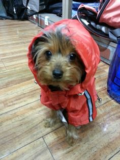 """See our internet site for more info on """"yorkshire terrier"""". It is a great area to find out more. Silky Terrier, Cute Dogs And Puppies, I Love Dogs, Doggies, Funny Animals, Cute Animals, Yorky, Yorkshire Terrier Puppies, Yorkie Puppy"""