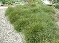 GRASS.  Carex praegracilis TOLLWAY SEDGE from Greenleaf Nursery.  A short, rich semi-evergreen sedge grass great for between landscape stones, mass plantings, and erosion control. It is salt tolerant but requires more moisture than typical turf. It grows 6 to 8 inches tall by 6 to 12 inches wide.