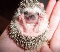 Facts About Hedgehog Pet Hedgehogs Hedgehog Pet And Animal Facts - 29 adorable animals that will put a smile on your face