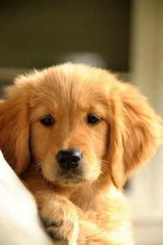 Golden retriever pup - how gorgeous!