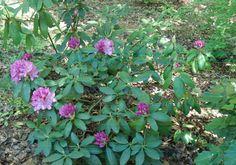 Rhododendron in a woodland garden