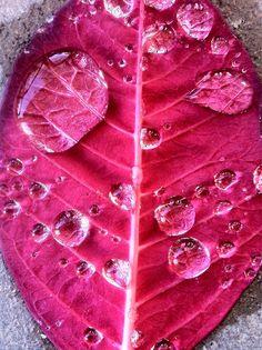 raindrops on a pink leaf.