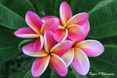 https://flic.kr/p/tFbSWx | Plumeria 'Haleakala' | Purchase from Jim Little Farm in Haleiwa on Oahu. Haleakala means house of the sun in Hawaiian.  The bright, blended colors of yellow to dark pink are reminiscent of the special sunrise at Haleakala on Maui.