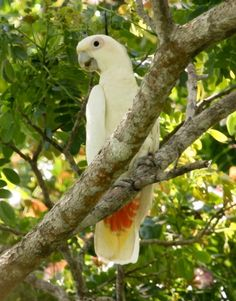 Philippine Cockatoo (Cacatua haematuropygia) Adult bird perched on a tree