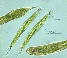 Euglena tripteris