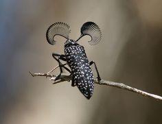 Feather-horned Beetle (Rhipicera femorata)