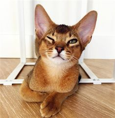 12 Best Cat Breeds For Kids And Families - Zoponder - - Looking for the great cat breeds for your kid and famliy? Here the list of 12 best cats that being a companion to reducing stress. Grey Cat Breeds, Large Cat Breeds, Best Cat Breeds, Exotic Cat Breeds, Cute Cat Breeds, Cornish Rex, Cool Cats, Singapura Cat, Tonkinese Cat