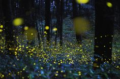 Synchronized fireflies. They light up for about 2.5 sec in sync. Elkmont in the Smokies is one of only 2 places in the world where this occurs. Bucketed.