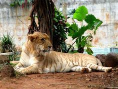 A tiglon or tigon (not tigron) is a sterile hybrid cross between a male tiger and a lioness. Thus, it has parents with the same genus but of different species. The tiglon is not currently as common as the converse hybrid, the liger.