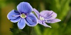 rozrazil rezekvítek Herbs, Floral, Flowers, Plants, Archive, Catalog, Florals, Herb, Flora