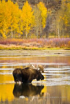 A bull moose eats from Oxbow Bend as he's reflected with fall colors in the water in Grand Teton National Park, Wyoming.