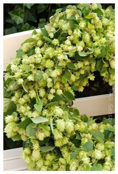 Hop wreath, fresh hop wreaths with leaves included. leaves might dry out before…