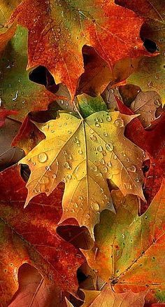 SEASONAL – AUTUMN – a country autumn includes lots of sugar maple leaves to harvest.