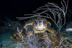 Loggerhead by kinglaura21 #nature #photooftheday #amazing #picoftheday #sea #underwater