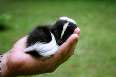 Adorable baby skunk