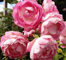 Rosa 'Pearl Anniversary' (Miniature / Patio Rose)