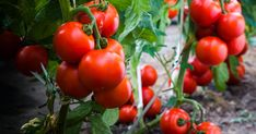 Growing tomato plants from seeds is not that difficult and it is extremely rewarding. Phenomenal Growing Tomatoes from Seeds Ideas. Growing Tomatoes Indoors, Growing Tomatoes From Seed, Growing Tomato Plants, Growing Tomatoes In Containers, Grow Tomatoes, How To Plant Tomatoes, Freezing Tomatoes, Marinated Tomatoes, Canning Tomatoes