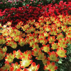 Tulpen kijken. #tulpen #keukenhof #tulipseason #tulip #opentophollands #naturelovers #naturelover #holland by krijtje1981