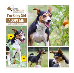 """She may not be """"all Jack,"""" but she's all lovable dog and she deserves a great home. #AdoptTerrier"""