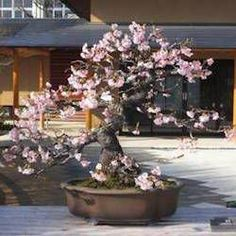 Learn about the living art of Bonsai! We explain how to care, cultivate and maintain your Bonsai tree with easy to understand and step-by-step guides. Ficus Bonsai, Indoor Bonsai Tree, Bonsai Plants, Bonsai Garden, Bonsai Trees, Cherry Blossom Bonsai Tree, Cherry Bonsai, Sakura Cherry Blossom, Blossom Flower