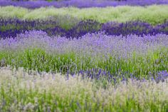 Lavender Farm in The Cotswolds | Content in a Cottage