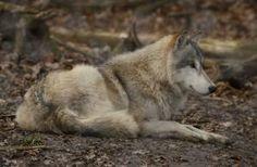 (c) Lakela.DA You Used Me, January 12, Husky, My Photos, Deviantart, Gray Wolf, Wolfdog, Animals, Animais
