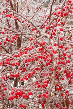 Ice on Barberry - fruit, ice in winter snow