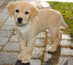 Buffy the Labrador Retriever