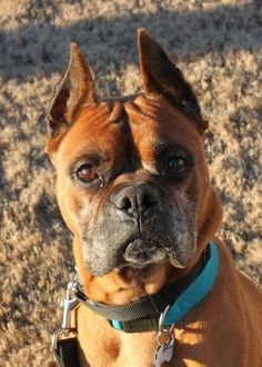Meet WALTER, a Petfinder adoptable Boxer Dog | Birmingham, AL | MEET WALTER!UPDATE 1.25.2013 Walter is now heartworm NEGATIVE! He would do best in a low key home...