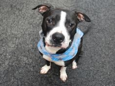 KEVIN - A1061971 - - Manhattan  TO BE DESTROYED 01/07/16  A volunteer writes: How do you spell fun? K-e-v-i-n! Beautiful, boisterous, affectionate, playful, well trained and eager to learn, our Kevin has everything an active family could want in a pet and once you meet him I guarantee you'll want to make this adorable boy your Kevin as soon as possible! A playgroup Prince who loves to socialize, Kevin mingles and rough houses with other dogs like he was born to it. He