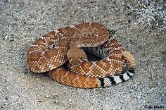 Red Diamond--looks like a red Western Diamondback, only found more in the southwest corner of California.