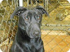 MIDDLE ISLAND, NY - Labrador Retriever Mix. Meet Herbie, a dog for adoption. http://www.adoptapet.com/pet/13502310-middle-island-new-york-labrador-retriever-mix