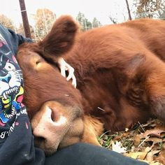 These 20 Adorable Pictures Prove That Cows Are The Cutest Animals Around - Cows are awesome – here's 17 pieces of evidence to help prove my point - Cute Baby Cow, Cute Baby Animals, Animals And Pets, Barn Animals, Pet Cows, Baby Cows, Fluffy Cows, Fluffy Animals, Cow Pictures