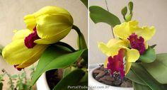 Aprenda como cultivar orquídeas Cattleyas