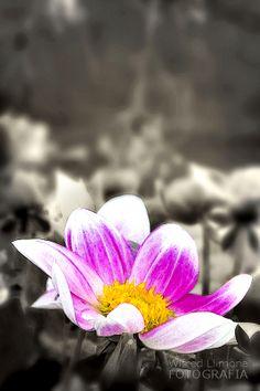 Fotografías para decorar. Flor malva de Wifred Llimona http://www.lallimona.com/foto/flora/