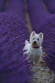 """handsomedogs: """"  Westie in purple   Dong """""""