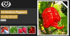 10-Hottest-Peppers-in-the-World-Featured