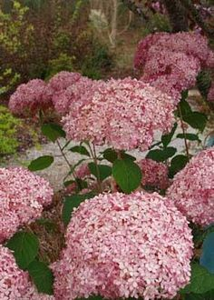 Invincibelle Spirit Hydrangea - no playing around with the PH!  It's truly pink!