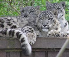 images of snow leopards | family of snow leopards