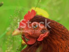 http://www.istockphoto.com/photo/hen-in-the-grass-gm542314632-97097519?st=39a85b3