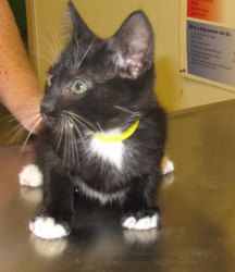 Madison: Domestic Medium Hair-Black And White, Cat; Jamestown, CA