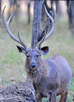 Male Sambar deer ! Sambar Deer, Deer Photos, Cute Animal Pictures, Animal Pics, Serval, Animal Alphabet, Russian Blue, Endangered Species, Deer Hunting