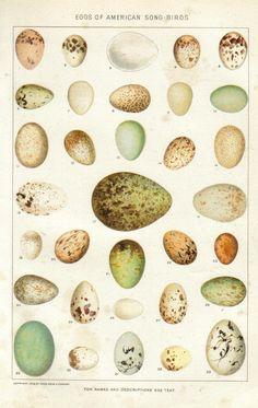 animal-bird-egg-eggs-of-american-song-birds-new-international-encyclopedia-1902.jpg 880×1,392 pixels - Vintage Printables
