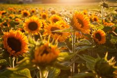 sunflowers, me loves.