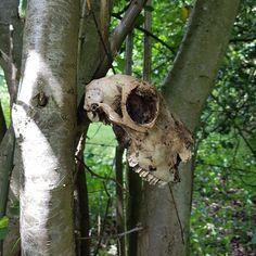 Sheep skull, Herefordshire, 2017.