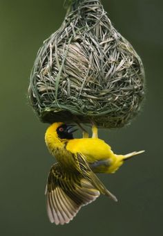 This little bird is weaving his/her own nest.A Masked Weaver Bird.Male weaving a nest….maybe one of many as he tries to please the female. Pretty Birds, Love Birds, Beautiful Birds, Beautiful Pictures, Exotic Birds, Colorful Birds, Weaver Bird Nest, Nester, Little Birds